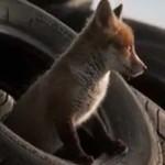 Маленький лисёнок|Рассказ о хитрой лисе